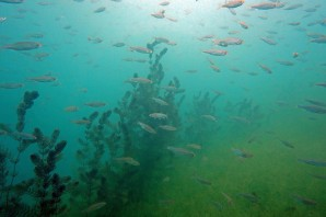 Ein Fischschwarm schwebt über den Wasserpflanzen.